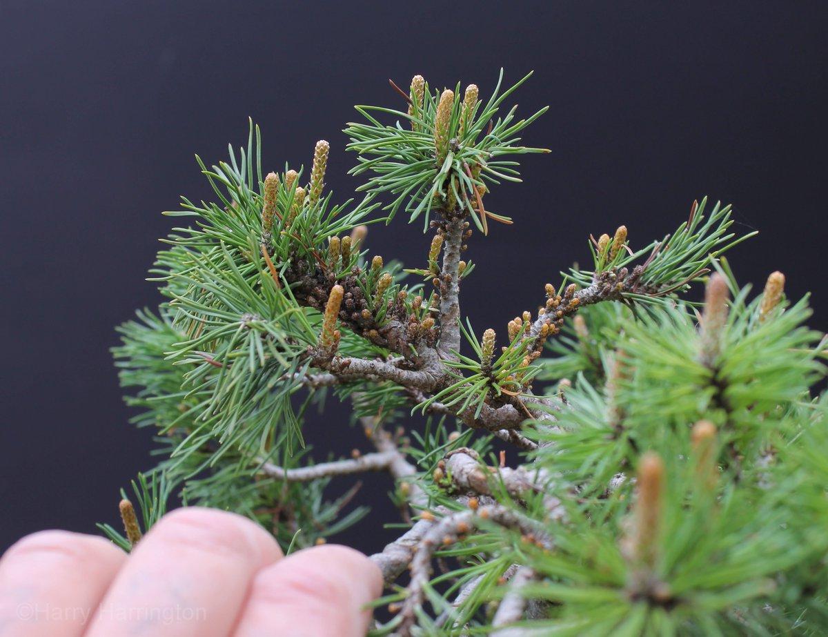 Harry Harrington On Twitter Mugo Pine Bonsai With Incredibly Dense Back Budding Please See Https T Co Frh42v5ts9 Bonsai Sale Pine Mugo