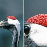 え…何これ(ドン引き)…タンチョウの頭の赤い部分がキモイ…