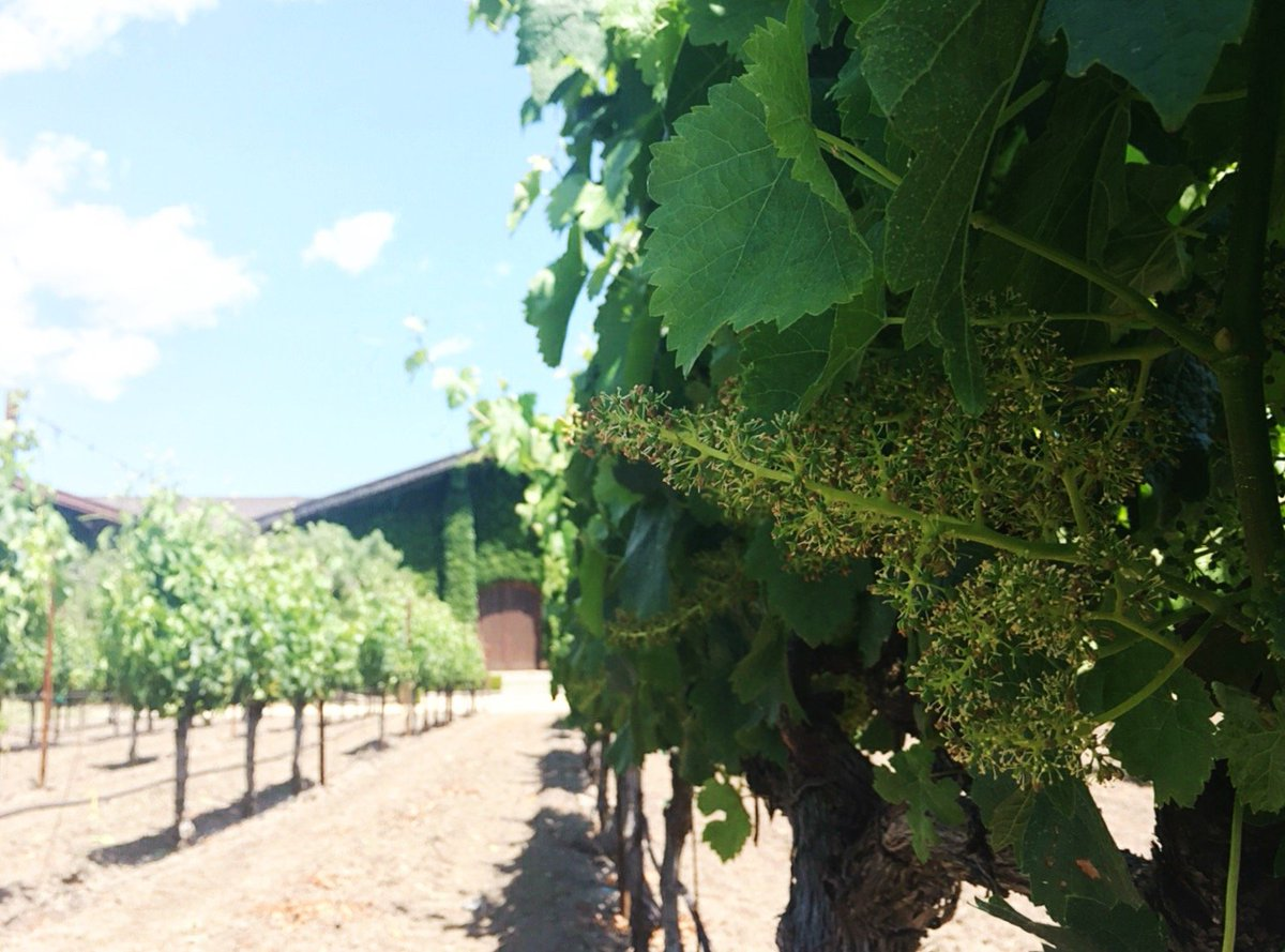 The #Cabernet is on its way...  #closduval #napavalley #harvest16 https://t.co/8kJYDoS1ro