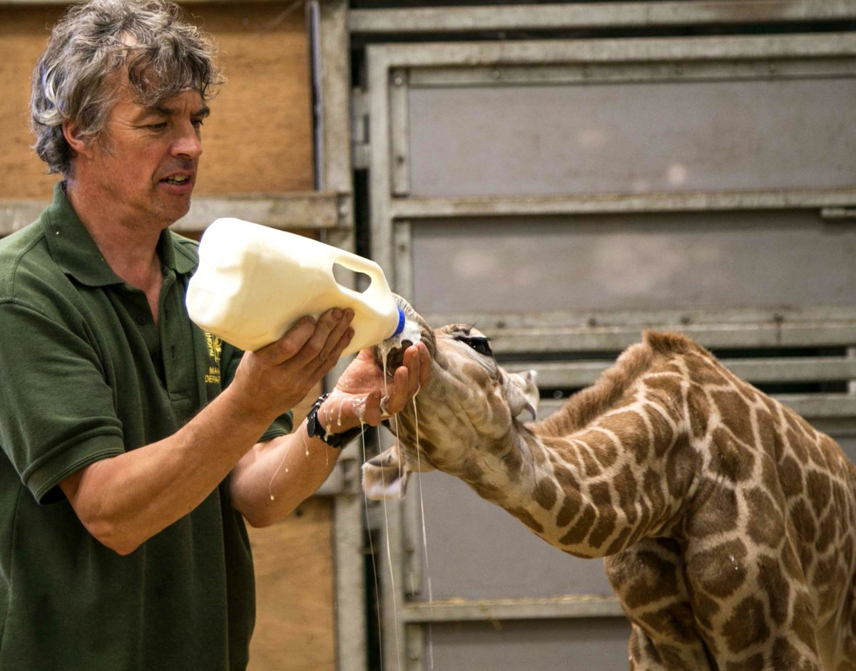 Most babies are messy eaters, and the new Rothschild giraffe at #Paignton Zoo is no exception! https://t.co/WK5ZdZLYsO