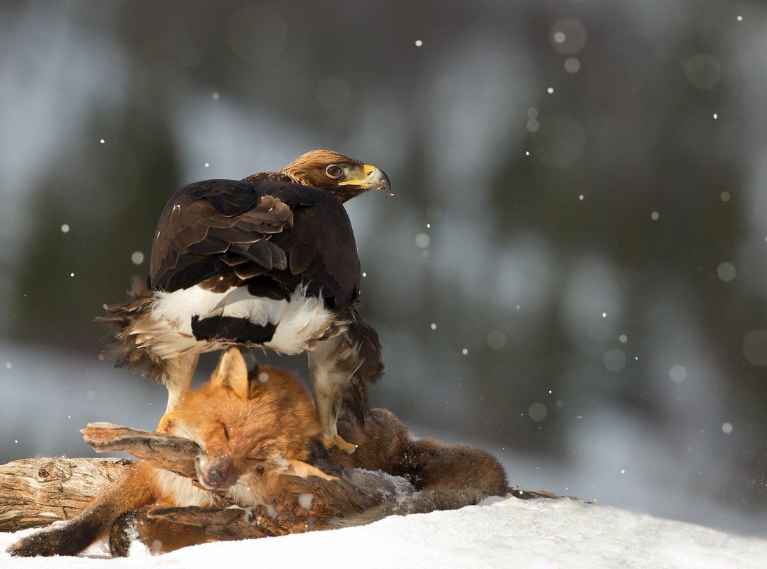 картинки орел и лиса ярких