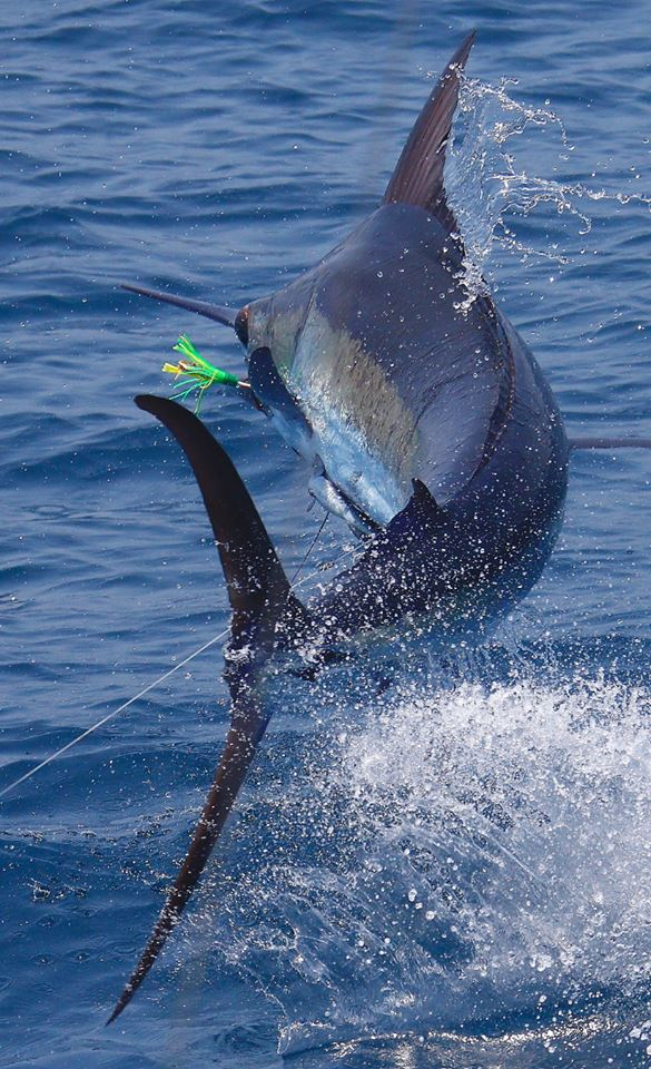 Guatemala - Capt. Brad Philipps on Decisive has gone 2-5 on Blue Marlin and 20 Sailfish over the last 2-Days.