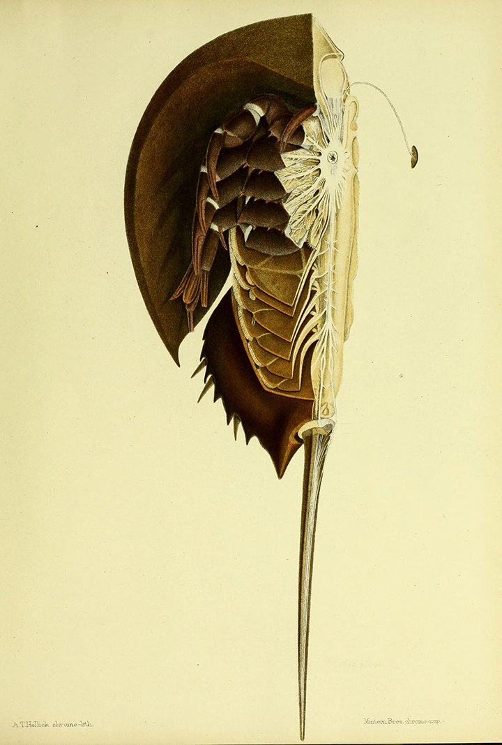 Bhl On Twitter Anatomy Of Atlantic Horseshoe Crab In New Bhl Book