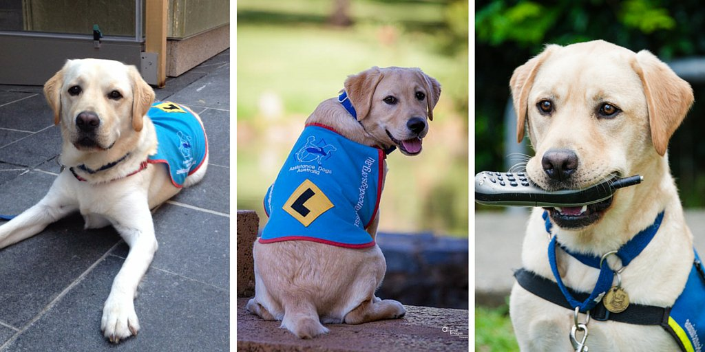 Happy 2nd Birthday to Lucky, Orla and Parker - 3 Superdog siblings who are helping Australians in need. https://t.co/snrEIWQ5wD