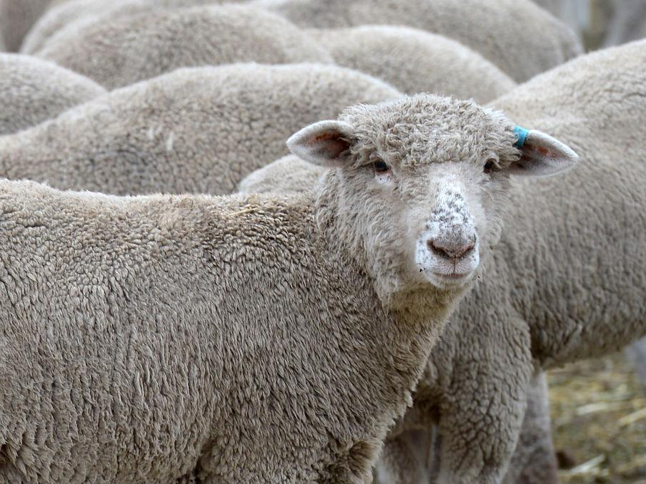 Fears sheep may go on 'psychotic rampage' through Welsh village after eating fly-tipped cannabis