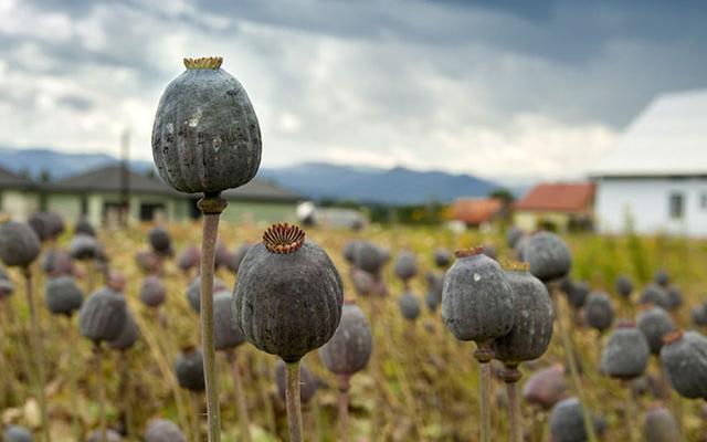 Burmese Opium Farmers Protest Eradication