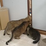 何だこの天使・・・掃除機に怯えつつ興味を持つ猫が可愛すぎる!