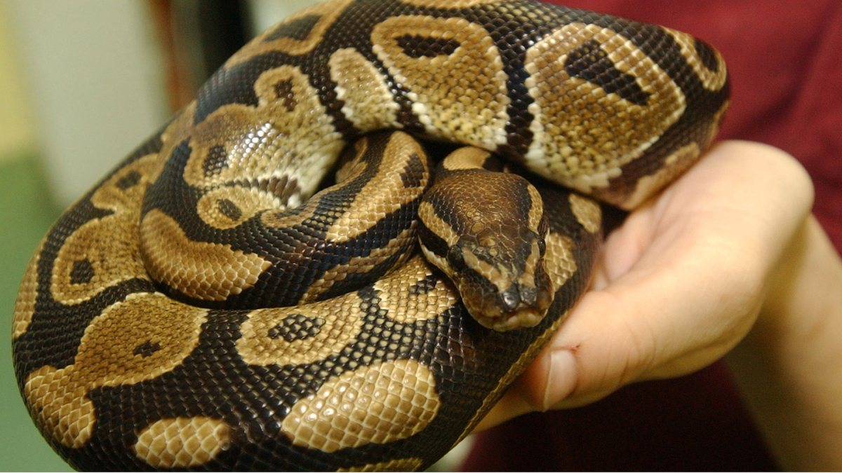 Man recovering after 10-foot python slithers through plumbing, latches onto  his