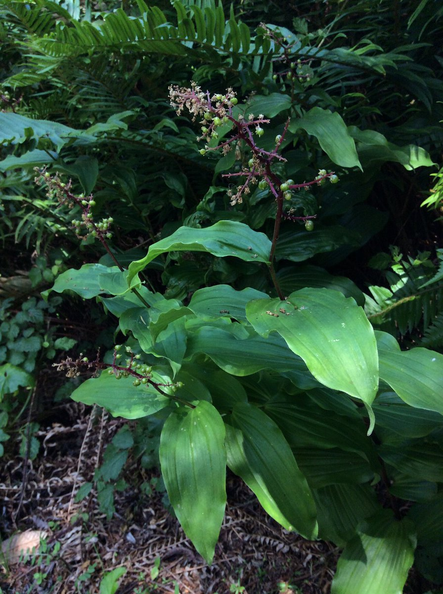False Solomon's Seal with flower heads turned to fruit, in Russian Gulch State Park. #Mendocino https://t.co/1drrxnyN2K