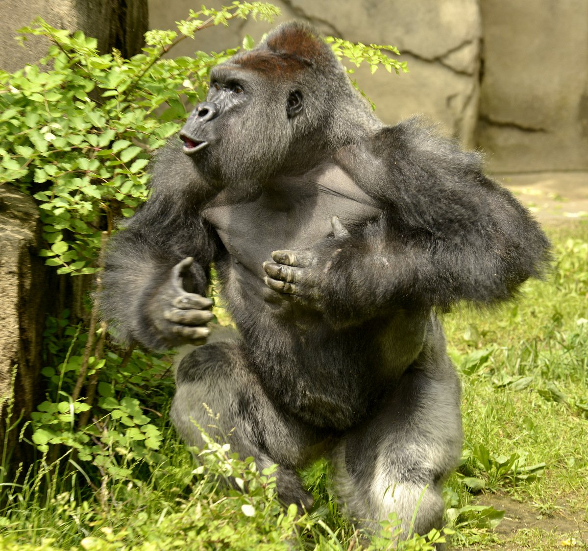 Happy 17th birthday to silverback gorilla Harambe! https://t.co/FeITuw0hPb https://t.co/FrfWUSKacV