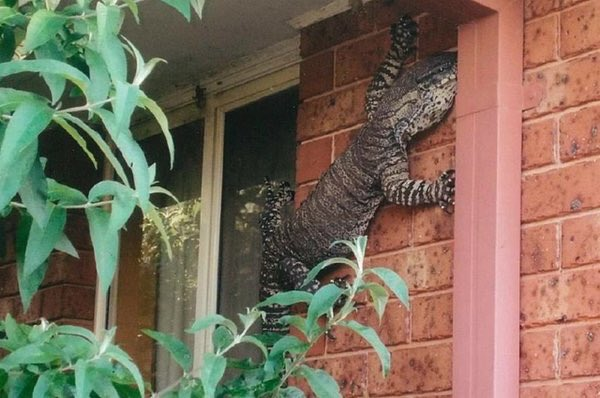Reason number #651 why Australia is cool. A goanna just chillin on the side of a house. https://t.co/jGwl08HEXf