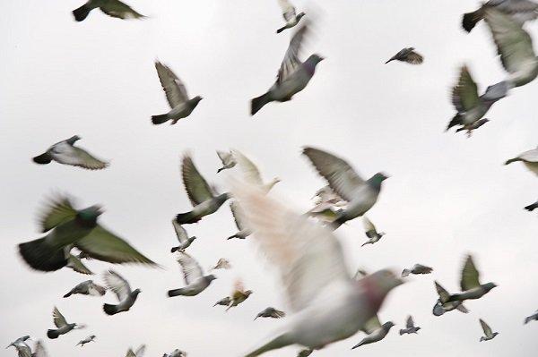 İngilizler Hava Kirliliğini Kuşlarla Ölçüyor