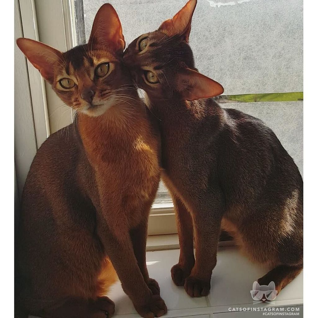 Abyssinian Cat Instagram