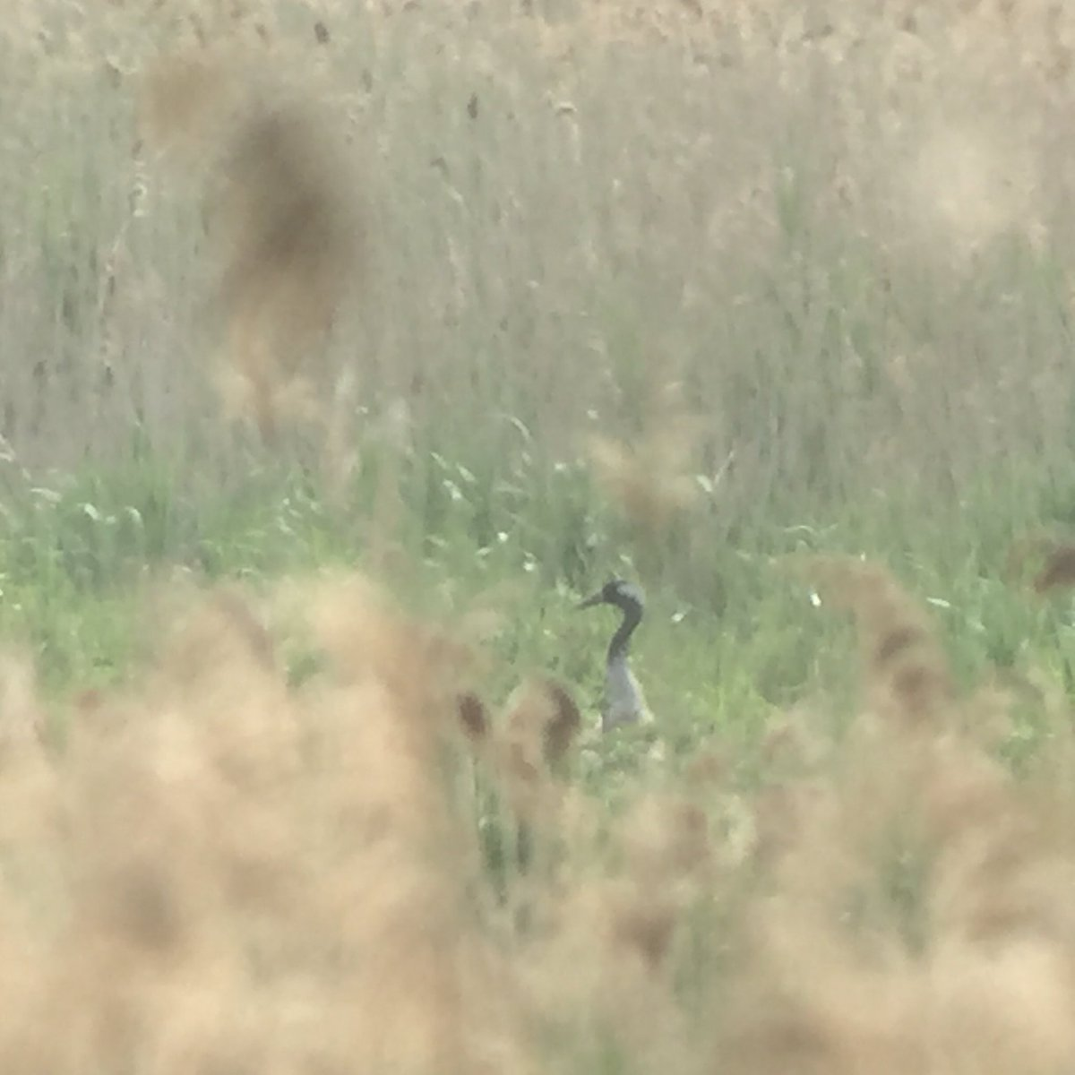 Crane at Lakenheath with @_BTO. #yeartick @_ieuan @Viola_RS https://t.co/XNiPsSAoJX