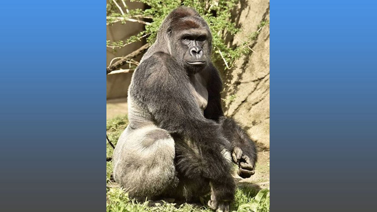 Gorilla killed after 4-year-old falls into zoo enclosure