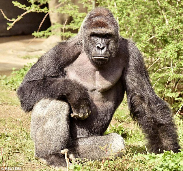 Animal rights activists react to gorilla killing after child fell into zoo enclosure