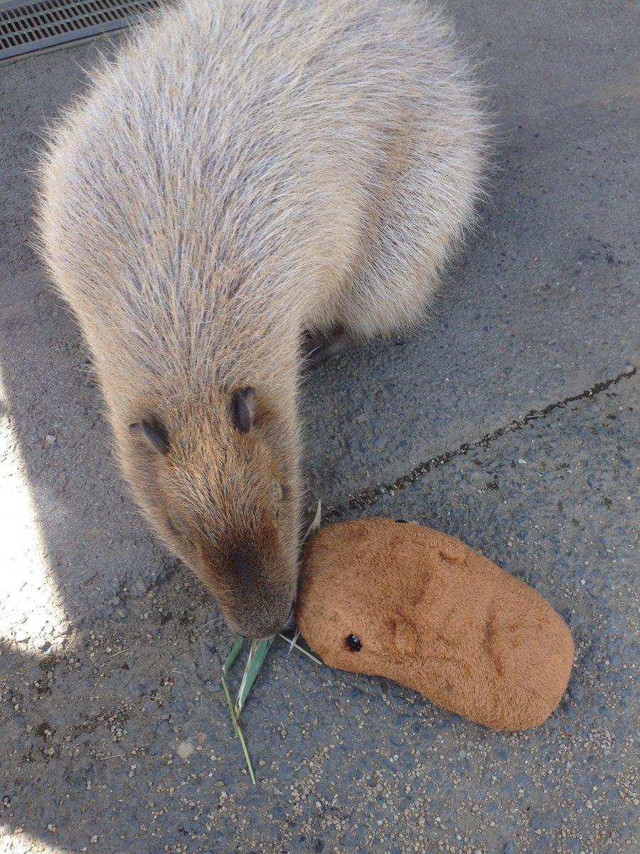 【TRYWORKSより】カピバラさんとカピバラの出会い…仲良く草をもっしゃもっしゃ。他の動物たちにもこんにちは…また会えるといいですね。 pic.twitter.com/ICe50JhZCU