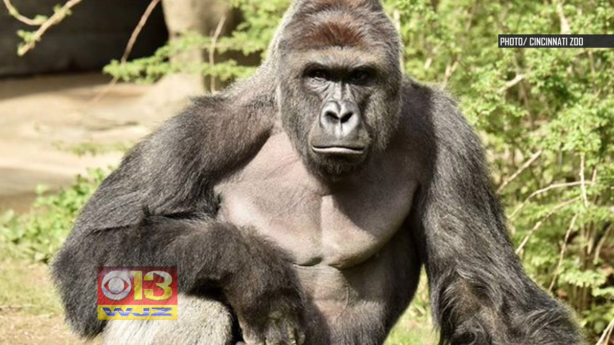 SHOCKING VIDEO: Ohio zoo closes gorilla exhibit for now after boy falls in