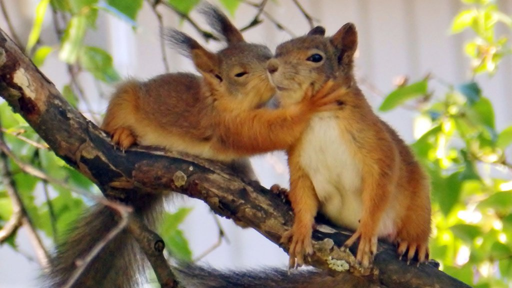 Awwww! #Finnish baby #squirrel kissing mummy may be the cutest nature photo of the year! (Pic: Sirkku Smolander) https://t.co/mIyEOSFptW