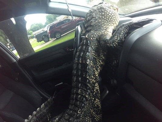 Gator climbs out of trunk, cracks windshield inside car