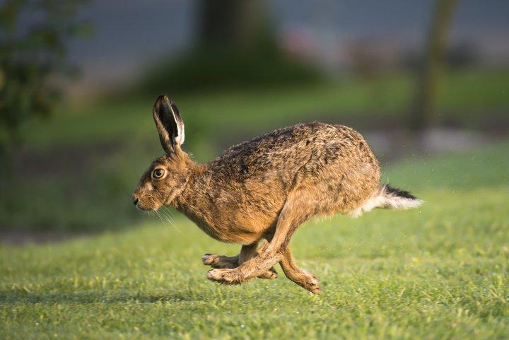 top speed rabbit