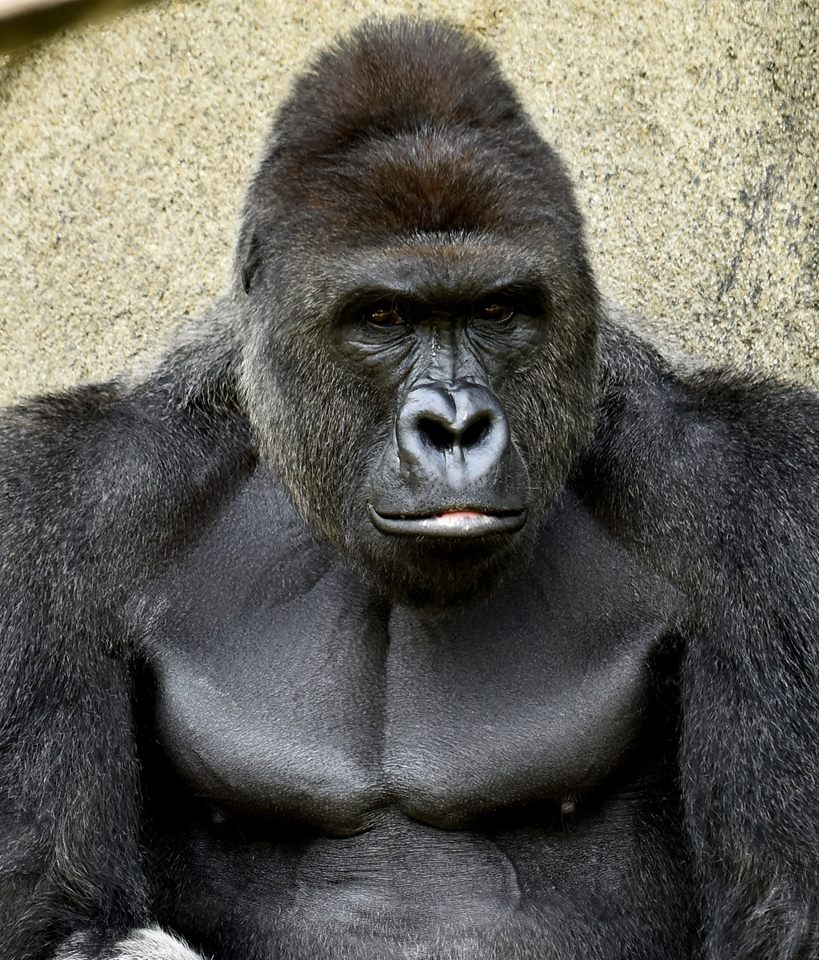 People are Outraged Over the Murder of Harambe After a Child Fell Into His Enclosure https://t.co/pjQZ1xGaa2 https://t.co/YYjmMEkxD4