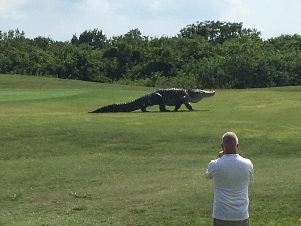 VIDEO: Giant gator roams Florida golf course https://t.co/Eerg9LhR7g https://t.co/XagBhTZ2md