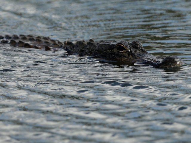 Pair of alligators found eating dead body in a canal, Davie police say