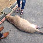 野生にはもう戻れないよね道路で堂々と眠るカピバラがかわいすぎる!