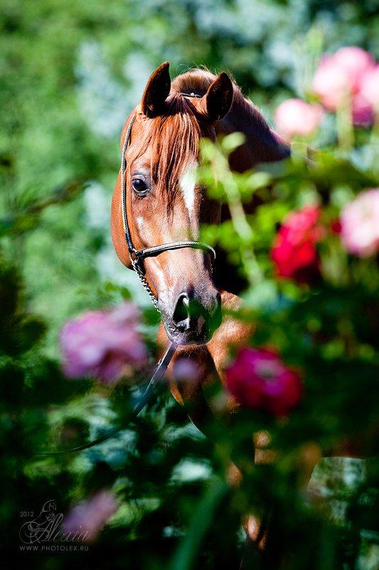 лошади в картинках розы будет так просто