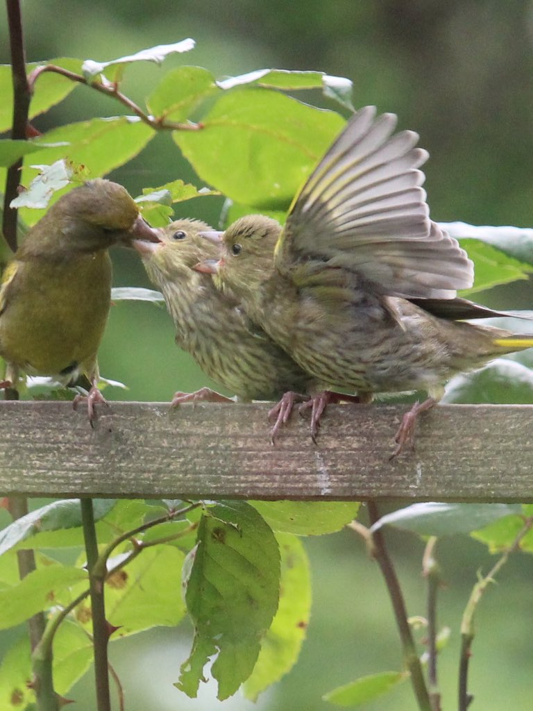 feeding time for the green finches @BritBirdLovers https://t.co/wfe02w2oUC