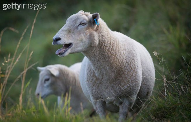 Stoned animals: Fears of weed-fueled sheep going on psychotic rampage
