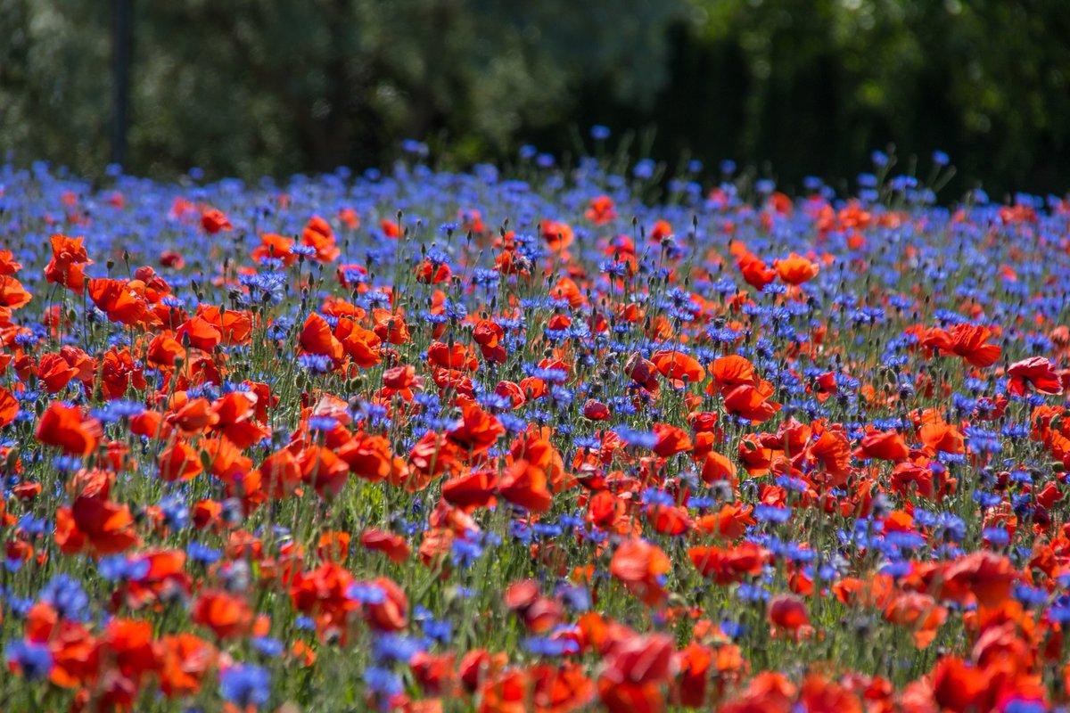 Hittade ett otroligt vackert fält med blåklint och vallmo https://t.co/IetgC2kZD6