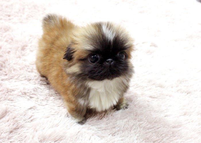 Pekingse Puppy