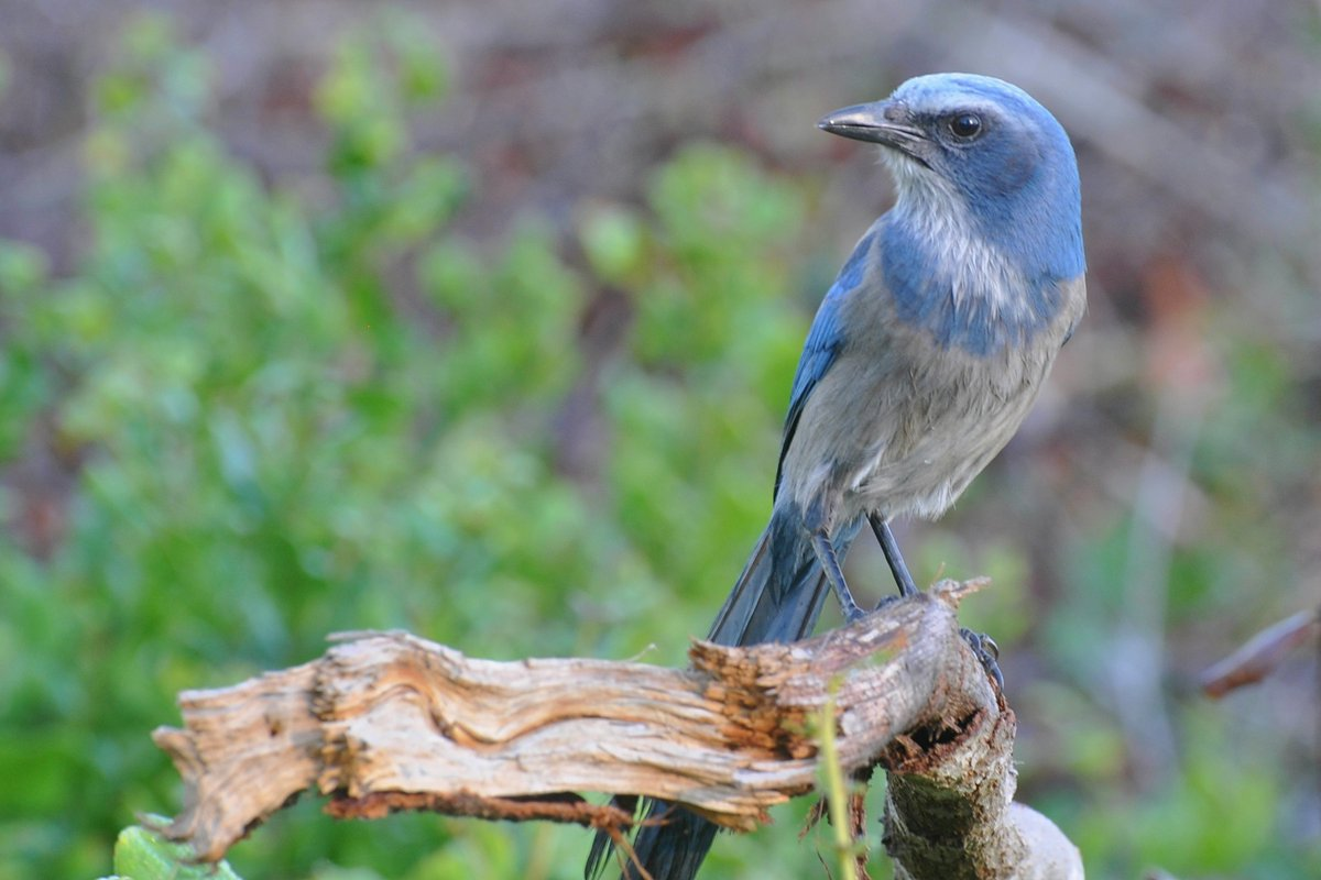 My picture of the endangered Florida scrub jay. #birdphotography @FLStateParks #loveFL https://t.co/gqd1CpyC1Q
