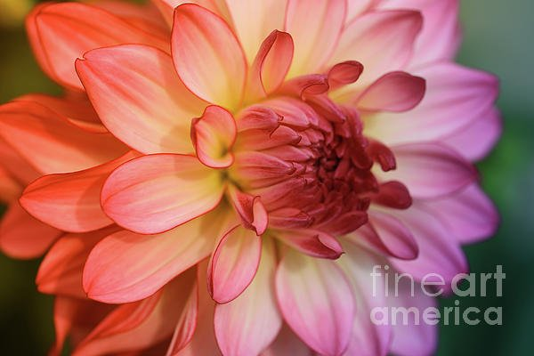"New artwork for sale! - ""Rainbow Dahlia"" - https://t.co/QOnCdg9Pwg @fineartamerica https://t.co/GDs0VNeIWw"