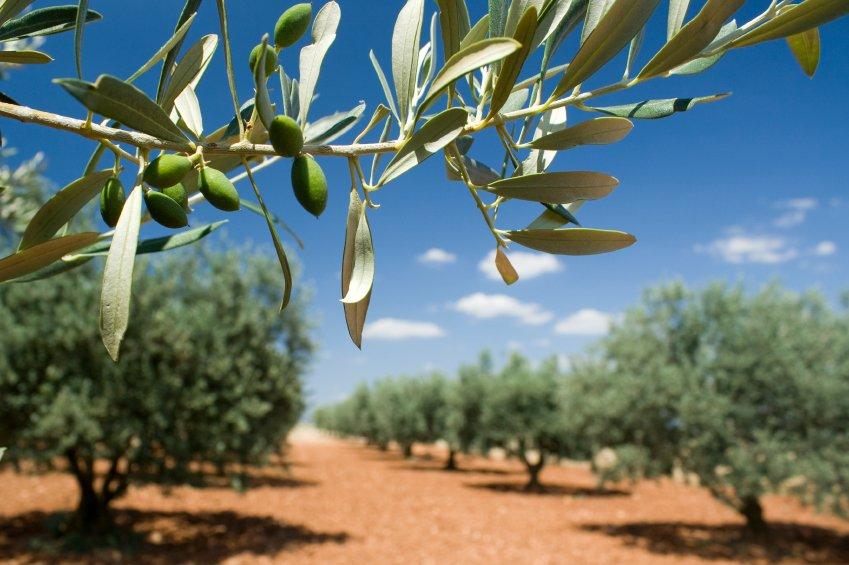 """Il """"massacro controllato"""" degli ulivi in Puglia"""