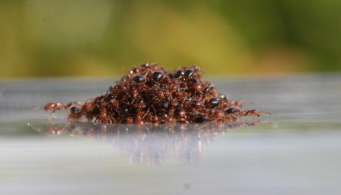 Les #fourmis sont d'une efficacité collective redoutable https://t.co/n2LaJJbVvU #inondations #radeau #coopération