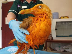 A seagull fell into a vat of chicken tikka masala. It's orange, but ok.  https://t.co/m48Z3oA56o https://t.co/4BokAe6cjd