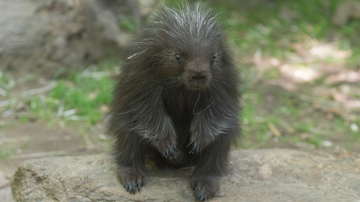 An adorable baby porcupine is making his debut at the @BronxZoo https://t.co/pDxVyCUHmp https://t.co/PQWVZ6J0Fi