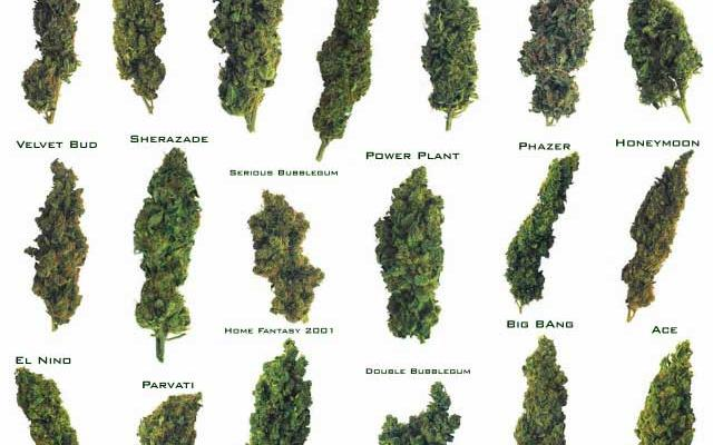 Quiz: Which Strain of Weed Are You?