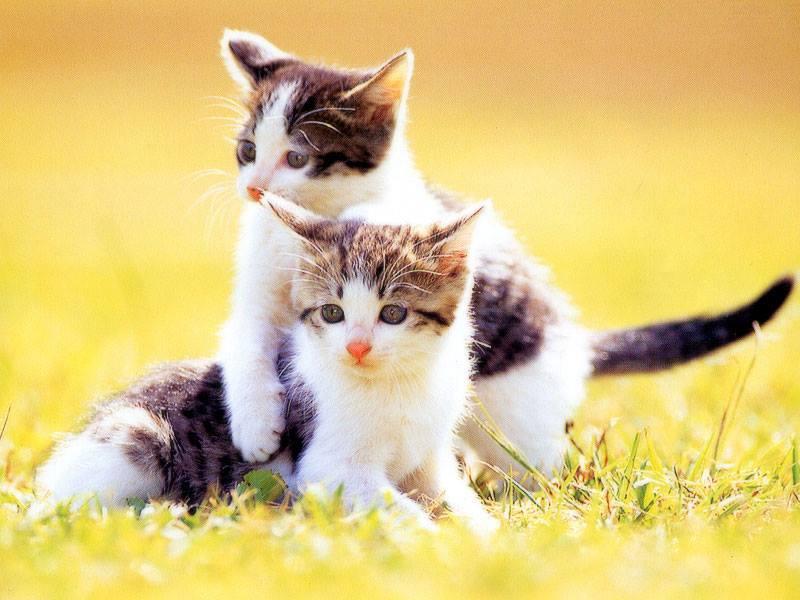 Gambar Kucing Couple godean.web.id