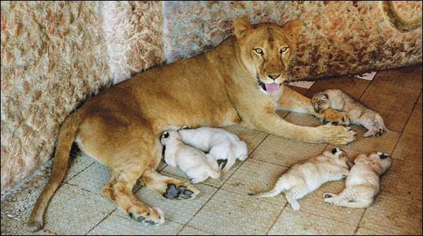 ملتان کے نجی چڑیا گھر میں شیر کے 4 بچوں کی پیدائش https://t.co/jERLkFGBET https://t.co/LDh6VHZWrD