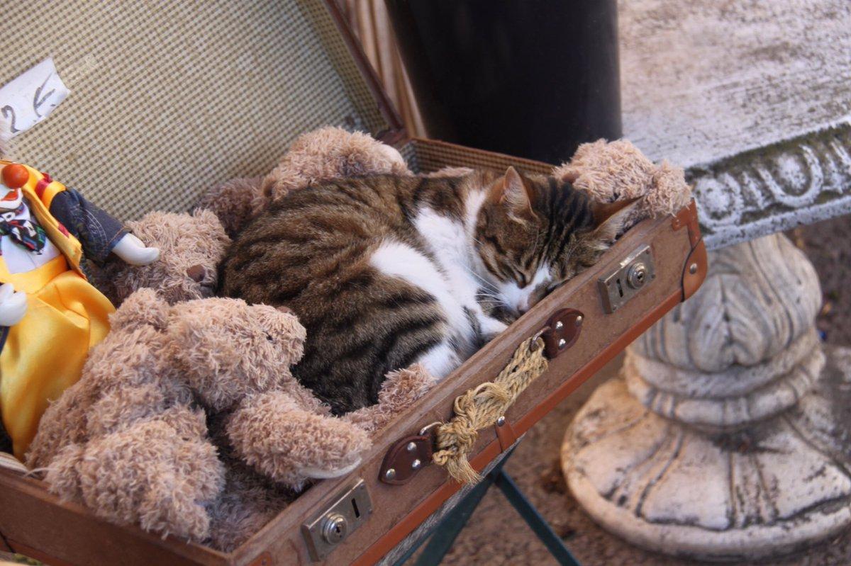 起こさないでください。大好きなぬいぐるみと一緒に、お昼寝中ミャウ(ぬいぐるみは売り物ですが……店主はまったく気にしてません) pic.twitter.com/68tpqka2Fp