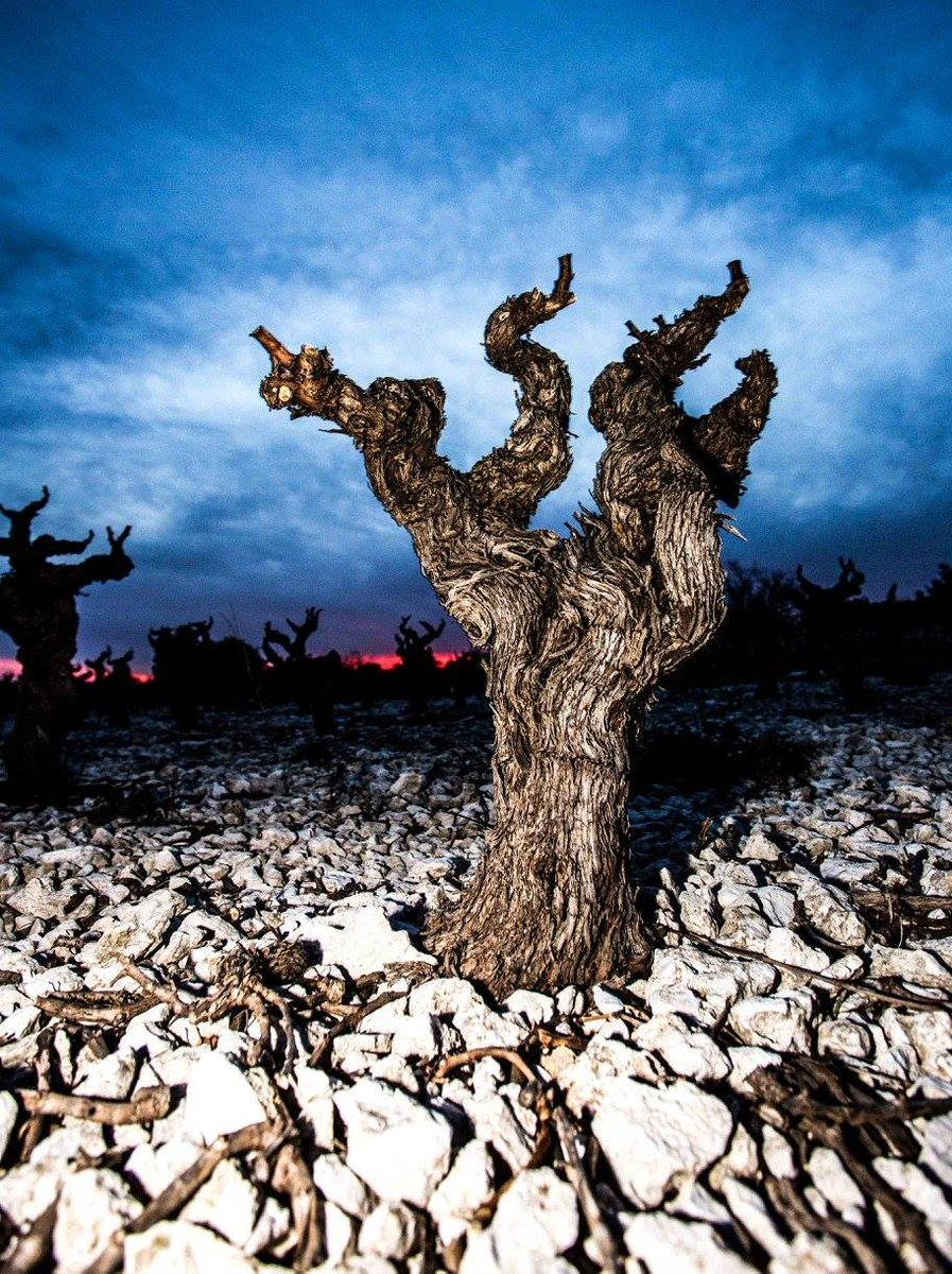 Wine Photo of the Week: Old Vine at Dusk https://t.co/exPMUKnO8F https://t.co/kVabV7kGSH