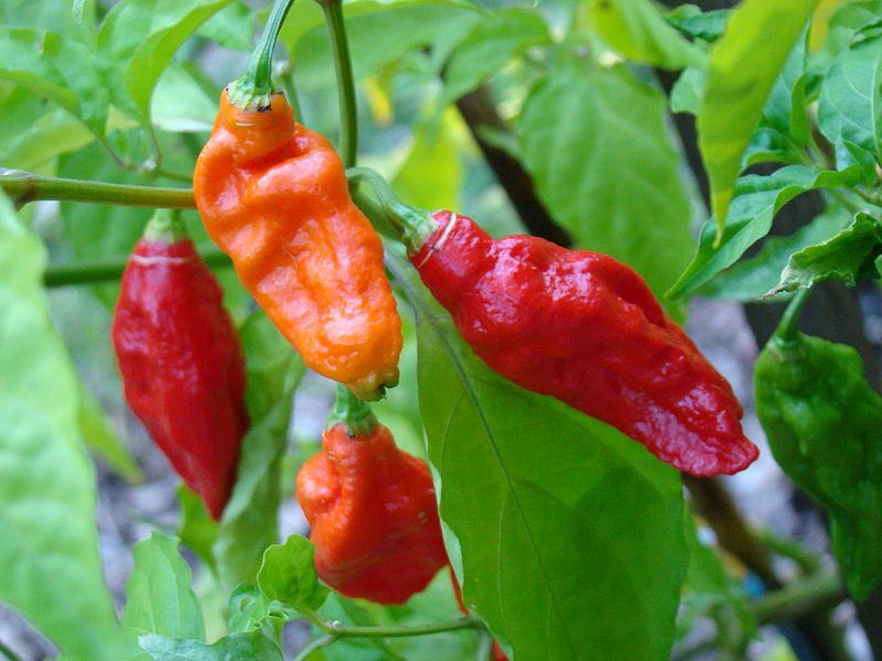 World's hottest pepper, bhut jolokia from North East India, is rated at well over one million SHUs! #SundayScience https://t.co/zenrcxC93H