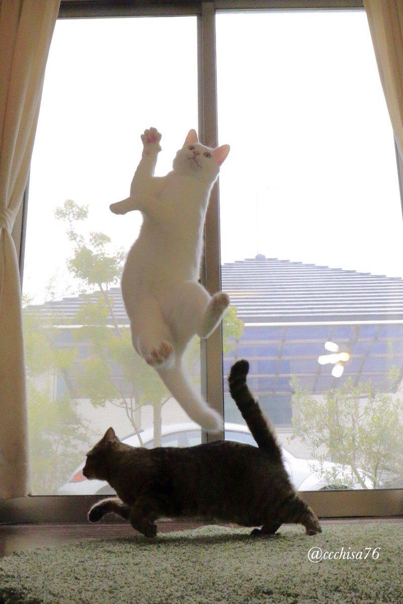 猫たちの体重測定してみました。●とんでる ミルコ 5.2キロ●走ってる うしお 4.8キロいつの間にか、うしおよりミルコの方が重たくなってた!(◎_◎;) ミルコだんだん重力無視できない!? pic.twitter.com/4WR1hddPiW