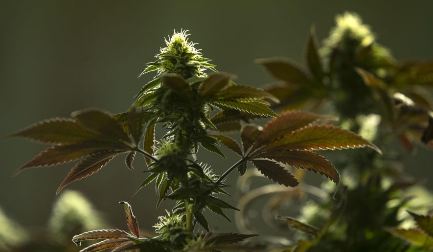 Marijuana Growers, Processors Face Complex Rules