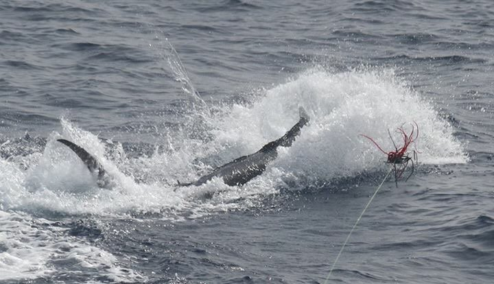Cape Verdes - Capt. Marty Bates on LaOnda Mila went 11-13 on Blue Marlin, largest was 650. Fished for 9-Days.