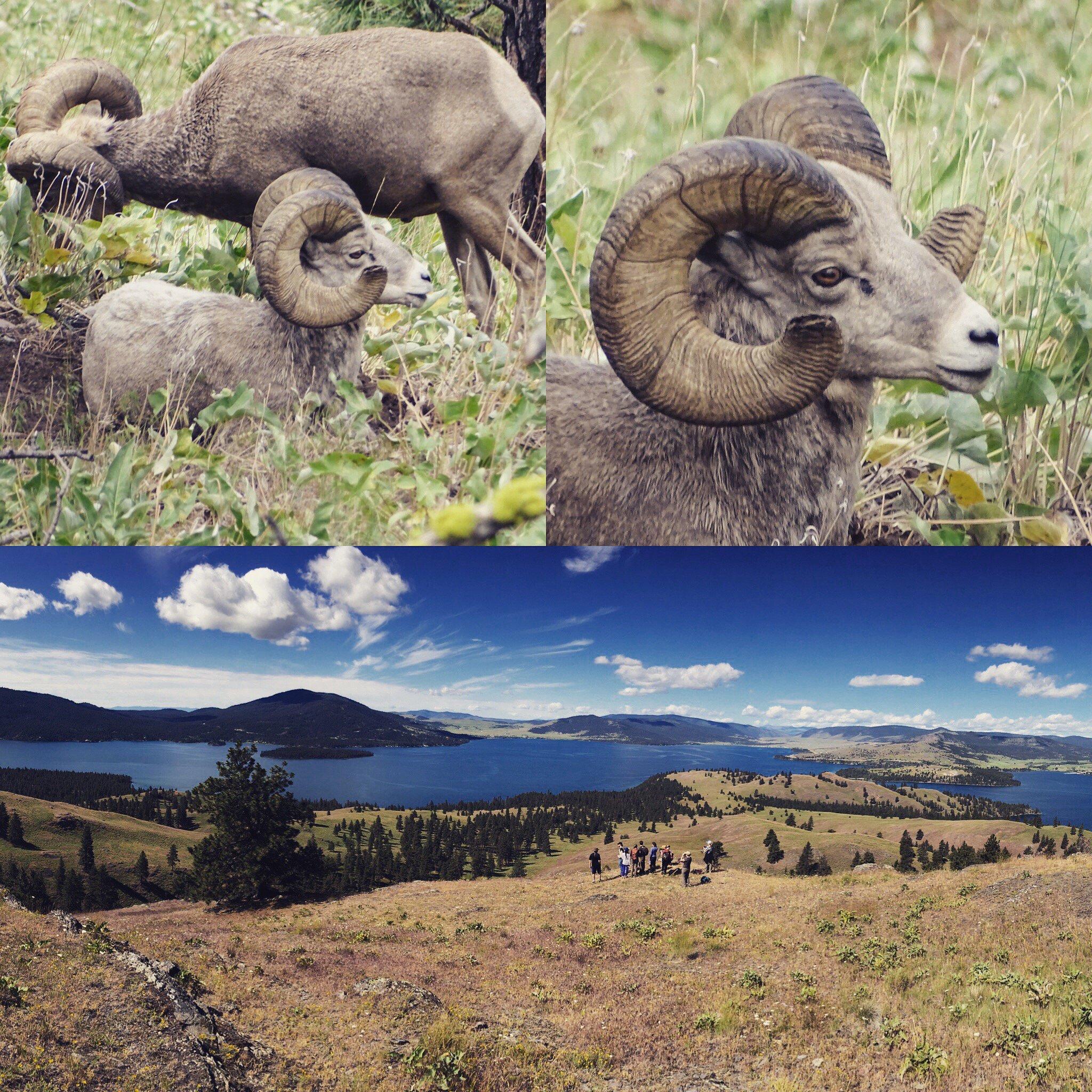 @umontana @FLBSUM A nice set of bighorn sheep! https://t.co/KzUriQzjH2